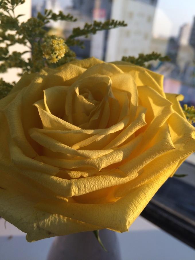 rosa amarela colombiana