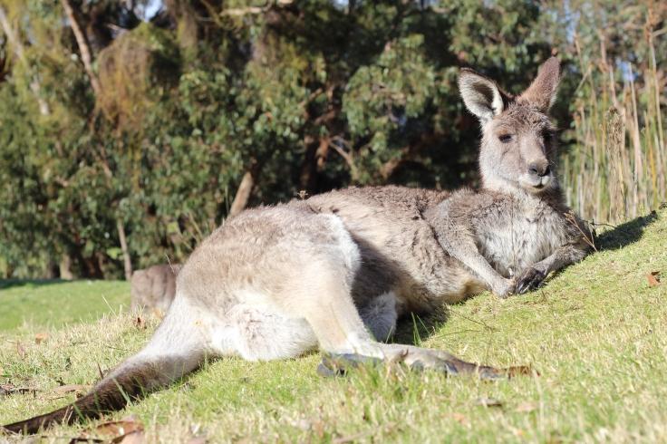 Anglesea Golf Club - Kangaroo encounter
