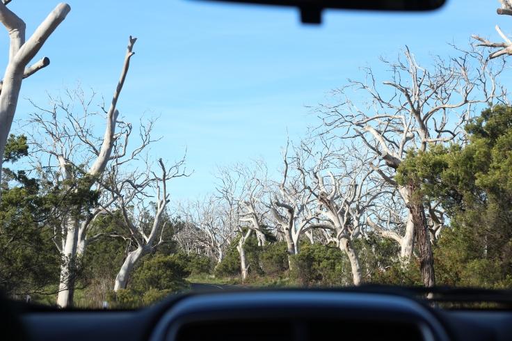 Cemitério de árvores - Cape Otway lightstation